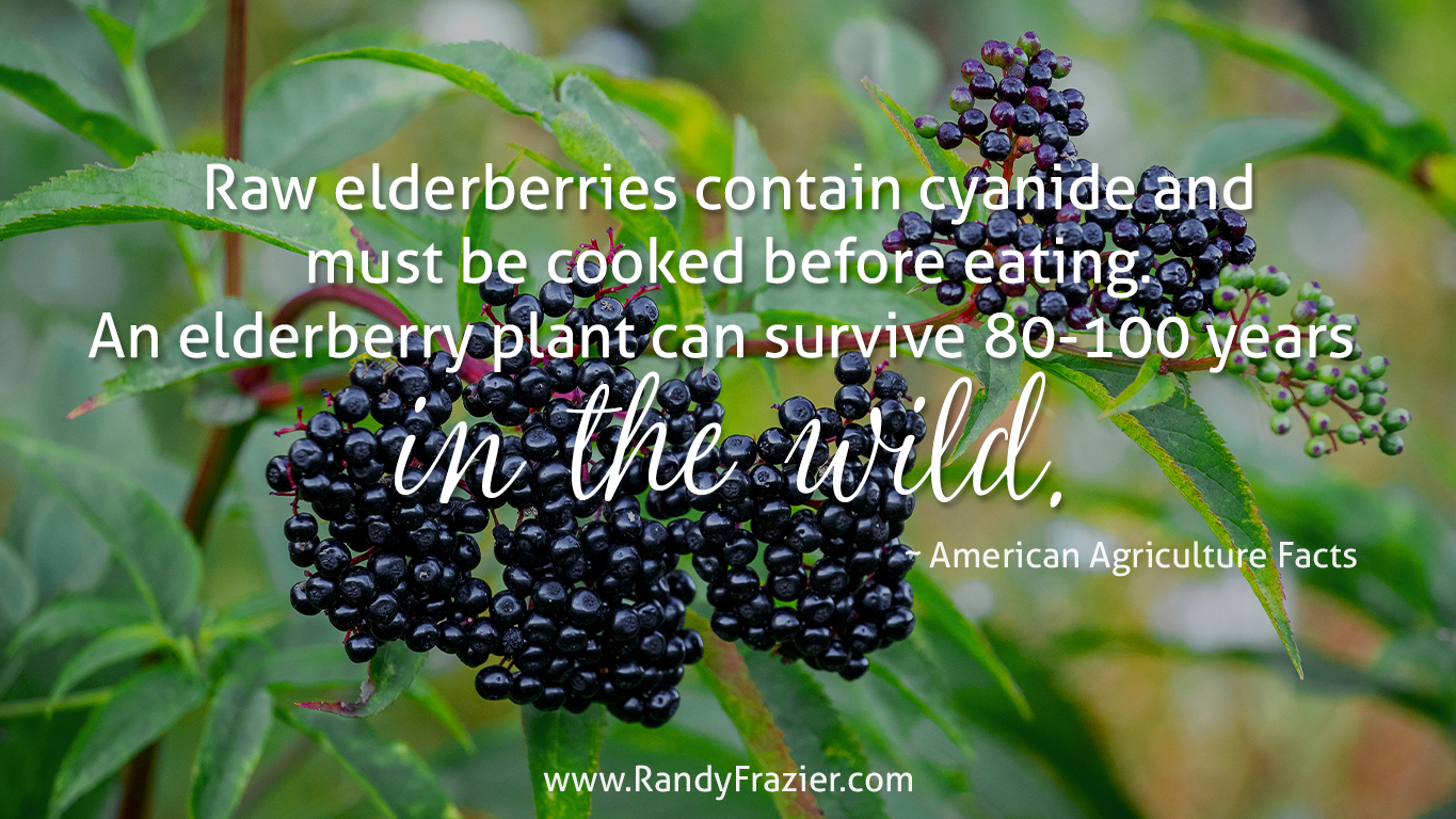 Ag Facts about Elderberries