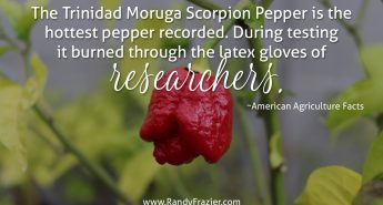 Ag Facts about the Scorpion Pepper